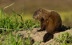 Groundhog Obrazy Royalty Free