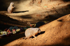 Groundhog Стоковая Фотография