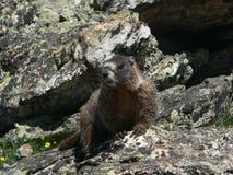 Groundhog royaltyfri foto