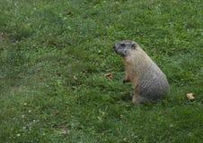 groundhog Royaltyfri Bild