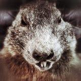 groundhog Photo stock