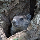 groundhog Royaltyfria Bilder