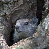 Groundhog Lizenzfreie Stockbilder