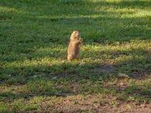 groundhog Στοκ φωτογραφία με δικαίωμα ελεύθερης χρήσης