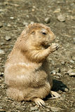 Groundhog. Ground hog, eating, sunny day stock images