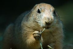 Groundhog Fotografia de Stock Royalty Free