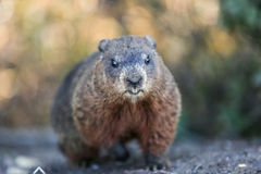 groundhog images stock
