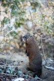 groundhog Стоковая Фотография RF