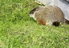 Groundhog. This groundhog is a frequent visitor to our yard.  He likes to eat dandelions and daisys Royalty Free Stock Photo