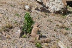 groundhog Стоковые Фото