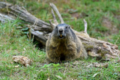 groundhog royaltyfria foton