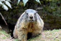 groundhog foto de stock