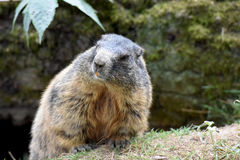 groundhog image stock