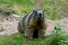 groundhog Стоковые Изображения RF