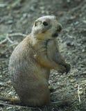 groundhog 库存照片