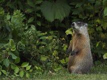 Groundhog acima nos pés traseiros imagem de stock royalty free