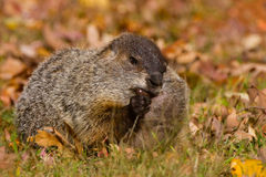 Groundhog acorn Stock Photos