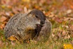 Groundhog acorn. Fuzzy furry pudgy fat cute groundhog woodchuck marmot eating an acorn stock photos