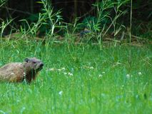 Groundhog against tall grass and weeds. Ground hog sitting in tall grass and weeds; southern New Jersey; Woodbine, NJ, Summer 2018 royalty free stock photos