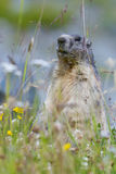 Groundhog on alpine flower meadow Stock Image