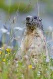 Groundhog on alpine flower meadow. In summer in Valais, Switzerland stock image