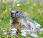 Groundhog on alpine flower meadow. In summer in Valais, Switzerland royalty free stock photo