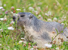Groundhog on alpine flower meadow. In summer in Valais, Switzerland royalty free stock image