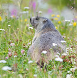 Groundhog on alpine flower meadow. In summer in Valais, Switzerland royalty free stock images