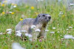 Groundhog on alpine flower meadow Stock Photography