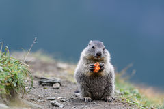 Groundhog. In the alps by Austria royalty free stock photo