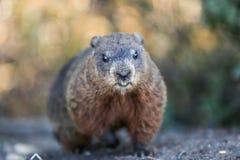 Groundhog. Announcing the spring - Botanical Gardens - Toronto stock images