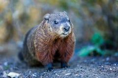 Groundhog. Announcing the spring - Botanical Gardens - Toronto royalty free stock photo