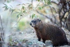 Groundhog. Announcing the spring - Botanical Gardens - Toronto stock photos