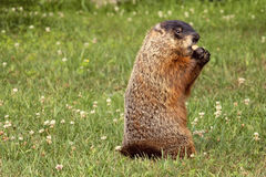Groundhog łasowania arachidy w Shell Zdjęcia Stock