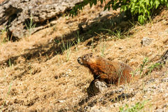 Groundhog auf Abhang Stockbilder