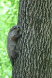 Groundhog. Baby groundhog, climbing a tree royalty free stock photos