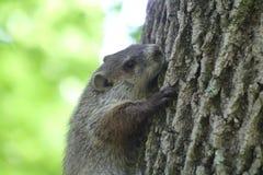 Groundhog. Baby groundhog, climbing a tree Stock Image
