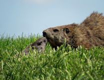 Groundhog with Baby Groundhog Kit. An adult groundhog or woodchuck with a cute baby groundhog pup, kit, or cub in green grass with blue sky copy space royalty free stock image