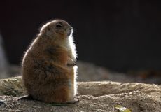 Groundhog in backlight. A groundhog in back light standing guard royalty free stock photo