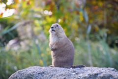 Groundhog on a big stone... The groundhog has got on a healthy stone and has anxiously frozen royalty free stock images