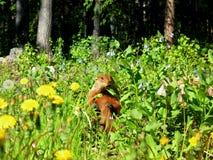 Groundhog in bloemen Royalty-vrije Stock Foto