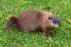 Groundhog (Bosmarmot) Stock Fotografie