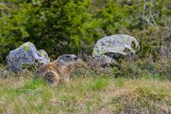 Groundhog with grass in his mouth. Groundhog carrying grass for his nest in the mouth stock photography