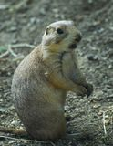 Groundhog. Chattering Groundhog in a zoo Stock Photo
