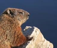 Groundhog che si leva in piedi sulla roccia immagini stock