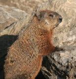 Groundhog che si leva in piedi sulle rocce fotografia stock libera da diritti
