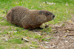 Groundhog - Marmota monax. Groundhog chewing on some grass. Also known as a Wood Chuck. Ashbridges Bay Park, Toronto, Ontario, Canada Stock Image