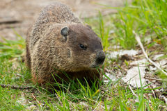 Groundhog - Marmota monax. Groundhog chewing on some grass. Also known as a Wood Chuck. Ashbridges Bay Park, Toronto, Ontario, Canada Stock Photos
