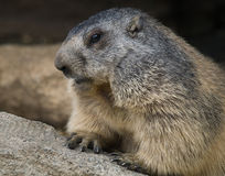 Groundhog closeup stock photo