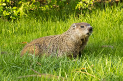 Groundhog and Clover. A groundhog aka woodchuck (Marmota monax) eats clover in the grass stock photo